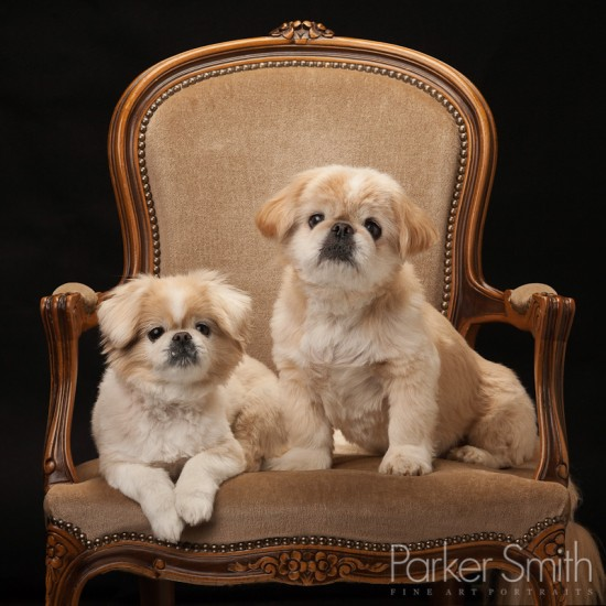 Pekingese dogs by Parker Smith