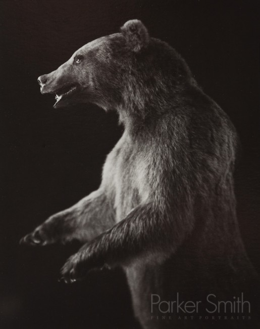 Grizzly bear taxidermy