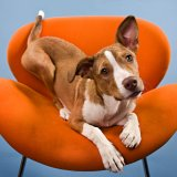 Pit bull mix on orange chair