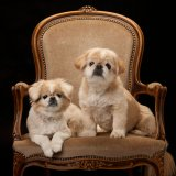 Two Pekingese dogs on mohair chair
