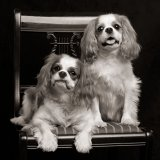 Two Cavalier King Charles spaniels on harp chair