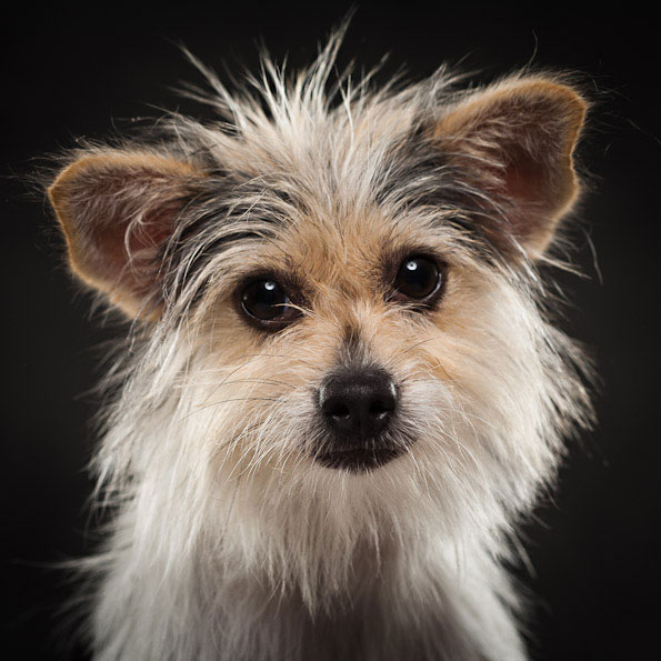 fluffy mutt dog studio portrait